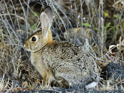 Cottontail Photo