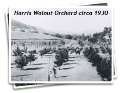 The Harris Walnut Orchard circa 1930 Photo