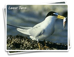 Photo of a California Least Tern