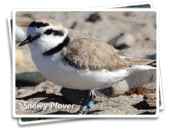 Photo of a Western Snowy Plover