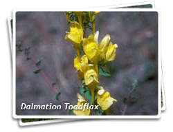 Dalmatian Toadflax Photo