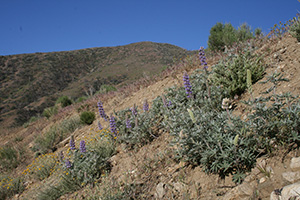 Scenic view lupine flowers