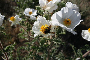 Prickly Poppy Photo