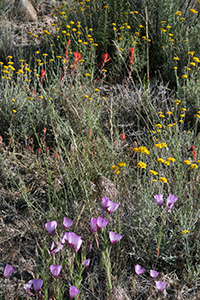 Clarkia, Paintbrush and Golden Yarrow photo