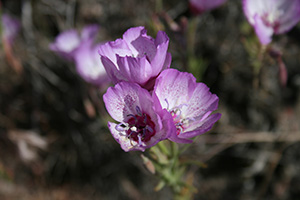 Speckled Clarkia photo