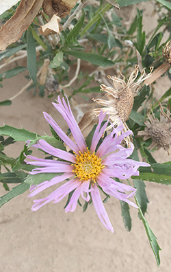 Tule Wash Orcutts Aster