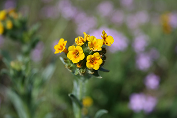 fiddleneck photo
