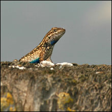 Fence Lizard Photo