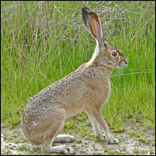 Jack Rabbit Photo