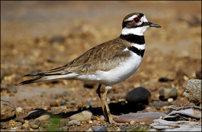 Killdeer Photo