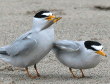 Photo of a Least Tern at Oceano Dunes SVRA