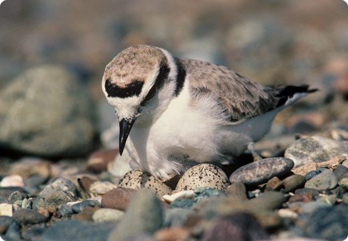 Snowy Plover Male Brooding