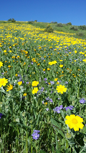 Valley sunflower photo