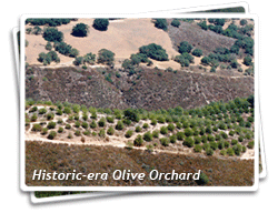 Photo of a historic Olive Orchard