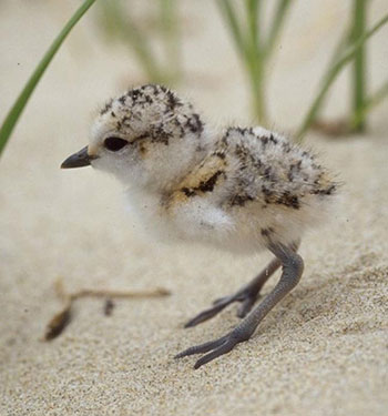 Image of snowy plover chick on sand